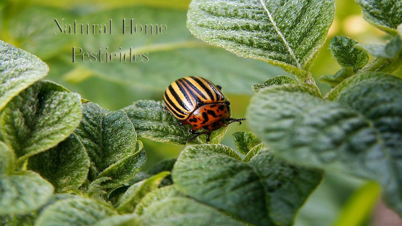 Bugs, Bugs, Go Away: Natural Home Pesticides